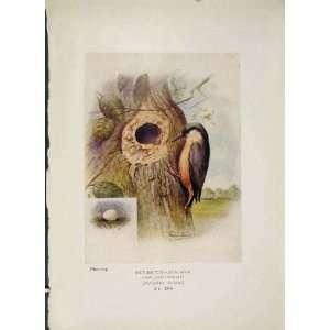 Nut Hatch Bird Egg Colour Antique Old Print Fine Art