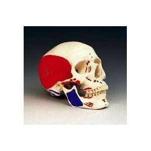 Human Skull with Painted Musculature Model:  Industrial