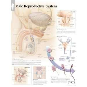 Male Reproductive System chart: Wall Chart (9781930633964