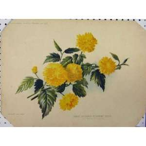 1897 Hardy Deciduous Flowering Shrub Yellow Old Print