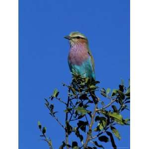 Lilac Breasted Roller (Coracias Caudata), Kruger National Park, South